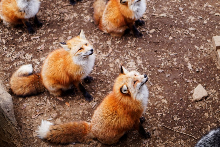 Guide to Visiting Zao Fox Village