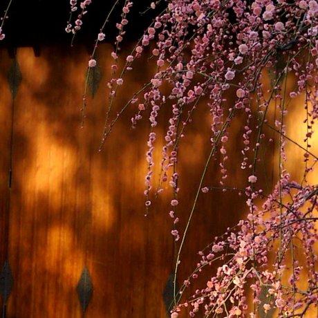 Plum Blossom at Jonan-gu in Kyoto