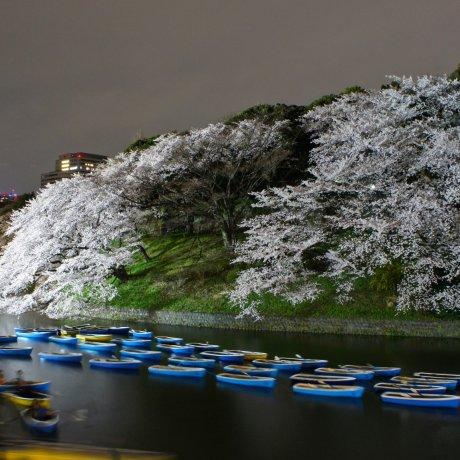Chidorigafuchi Cherry Blossoms