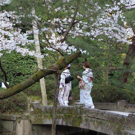 Heian Jingu Shrine Cherry Blossoms