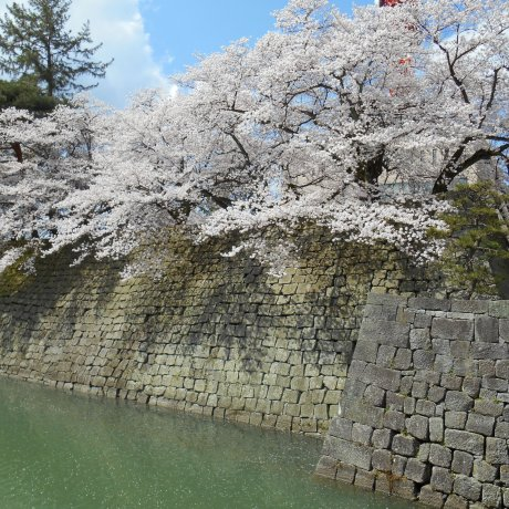Daytime Ohanami at Fukui Castle