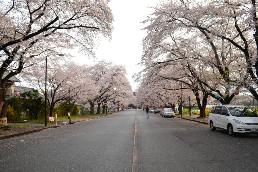 Beautiful, Overlooked Sakura Spots
