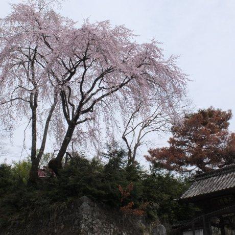 Sakura on Mt. Minobu, Yamanashi