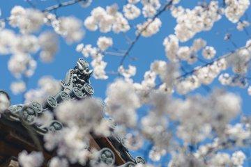 Cherry Blossoms at Zojoji Temple