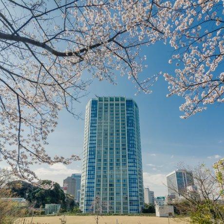 Cherry Blossoms around Shibakoen