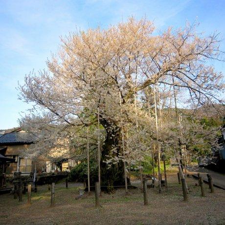 Old Sakura in Onaga Valley, Fukui