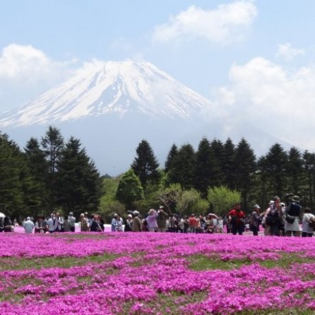 The Fuji Shibazakura Festival