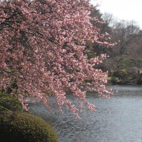 Cherry Trees at Shinjuku Gyoen National Garden