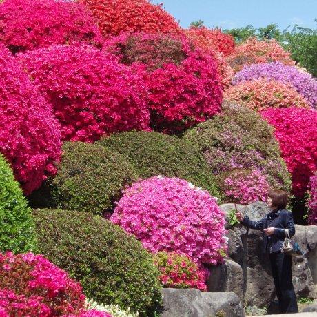 Tsurumine Park's Gorgeous Azaleas