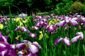 Iris Festival at Daian-zenji Temple