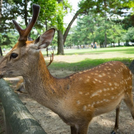 A Walk through Nara Park