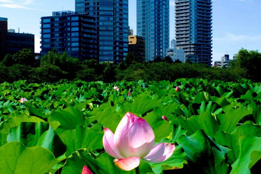 Enjoy Japanese Lotus at Ueno Park
