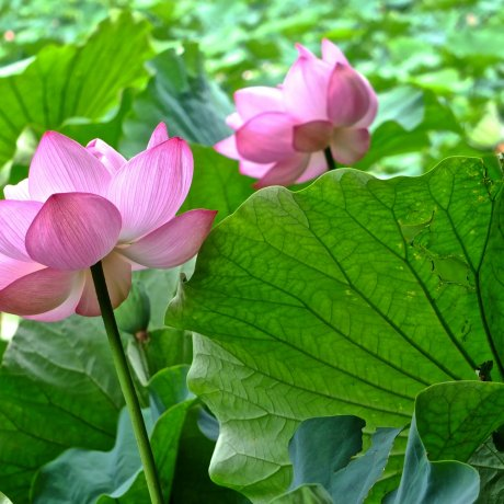 Enjoy Japanese Lotus in Yokohama