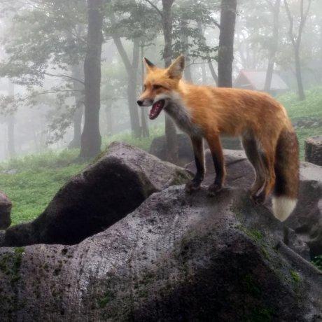 Fox Village in Zao
