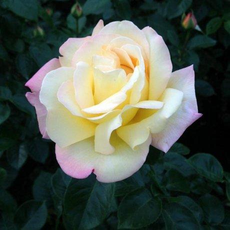 Rose Fiesta at Jindai Garden