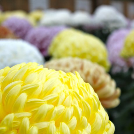 Chrysanthemum Exhibit at Sankeien