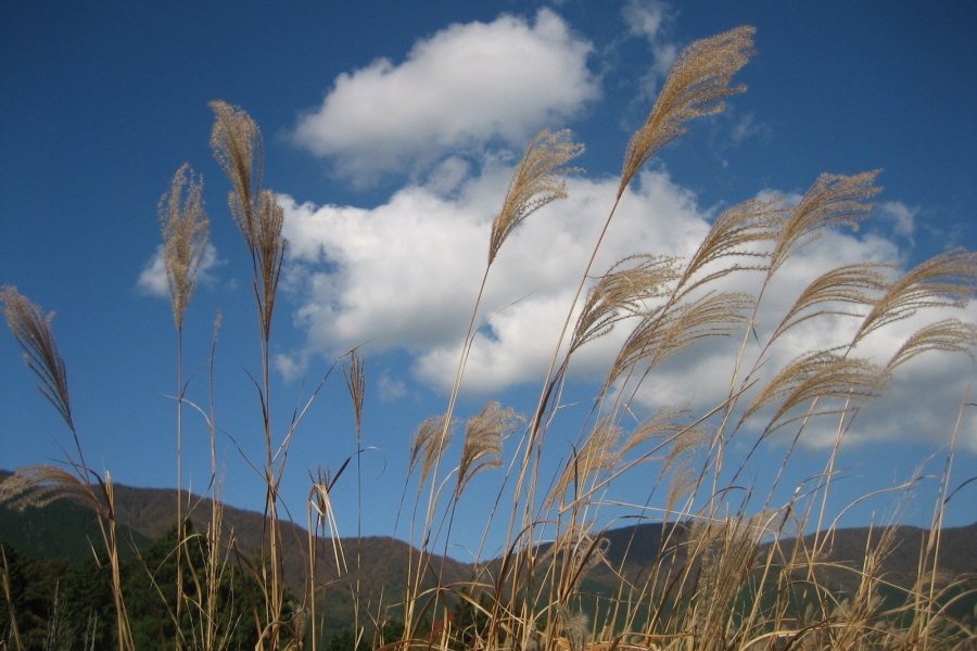 Pampas Grass in Sengokuhara, Hakone