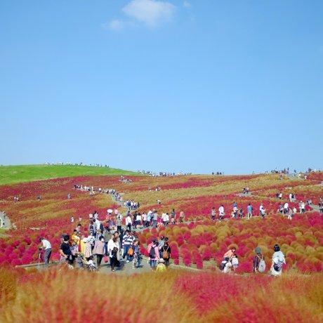 Hitachi Seaside Park in Autumn
