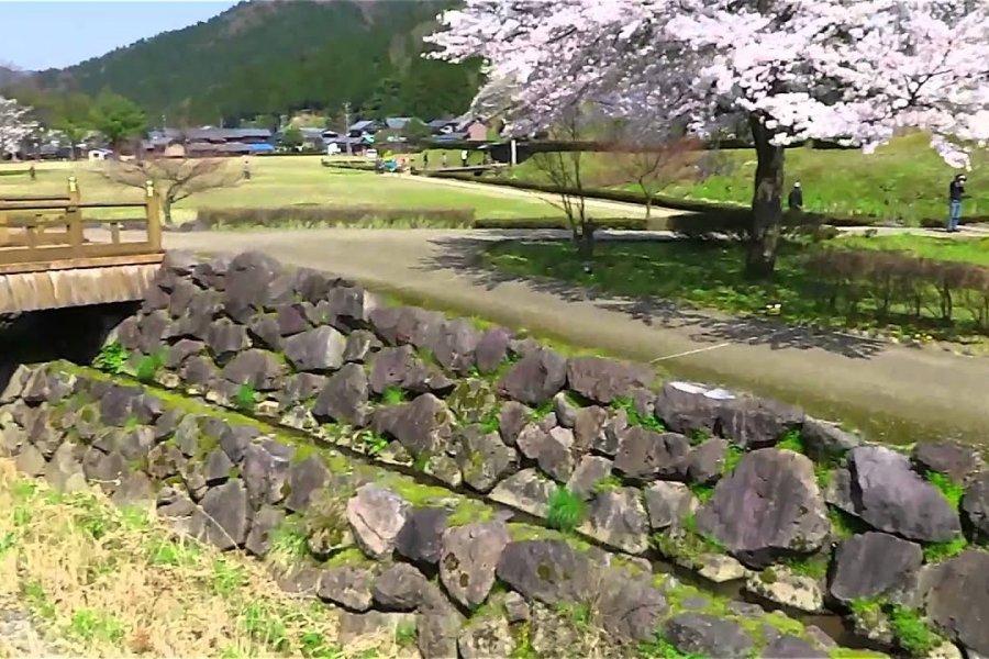 Cherry Blossoms of Asakura Ruins