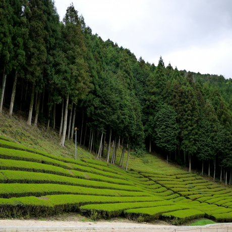 Tea Plantations in Shiga Prefecture