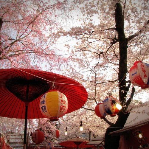 The Cherry Blossoms of Kyoto