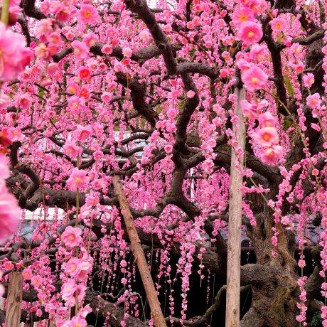 Cascading Japanese Plum Blossoms