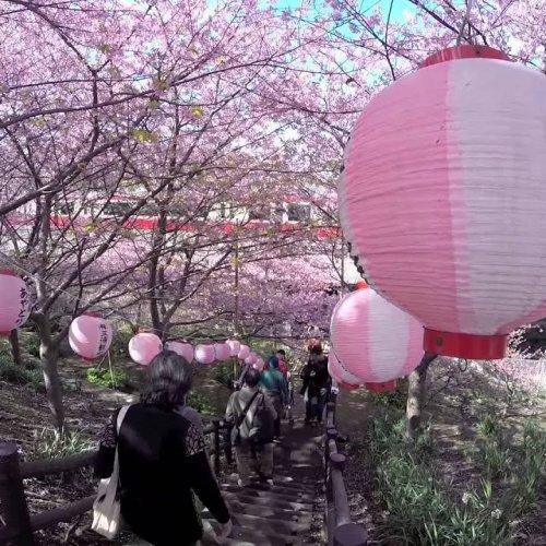 Miurakaigan Cherry Blossoms