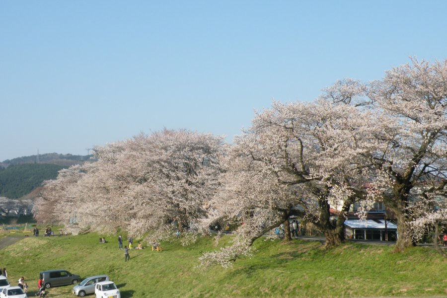 Ogawara's Thousand Sakura Trees