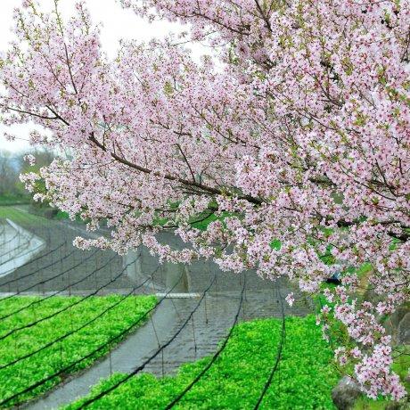 Spring Breeze of Azumino