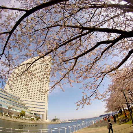 Cherry Blossoms in Minato Mirai 21