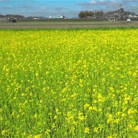 Flying over Field Mustard in Spring
