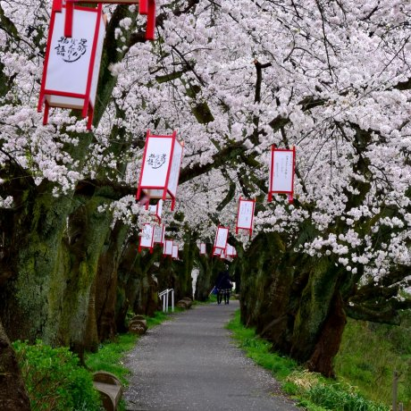 Cherry Blossoms Along Asuwa River