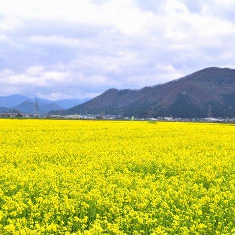 Field Mustard Paradise in Fukui