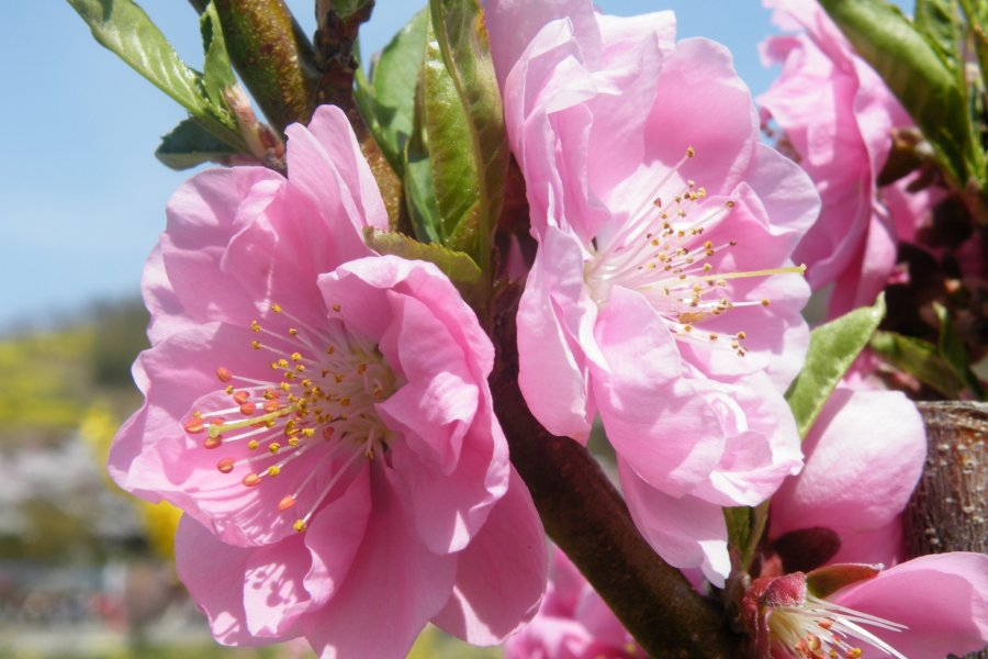 Fukushima's Mountain of Flowers