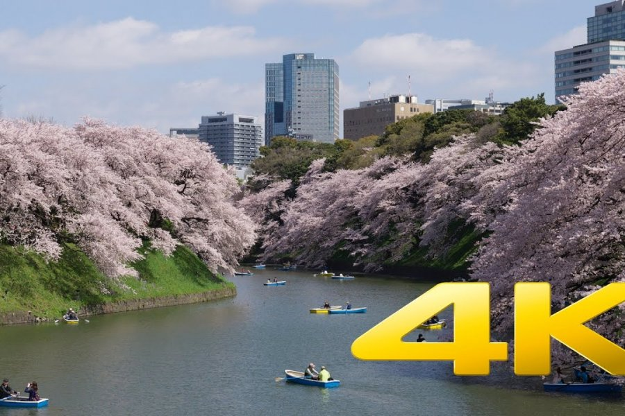 Cherry Blossom near Tokyo Imperial Palace