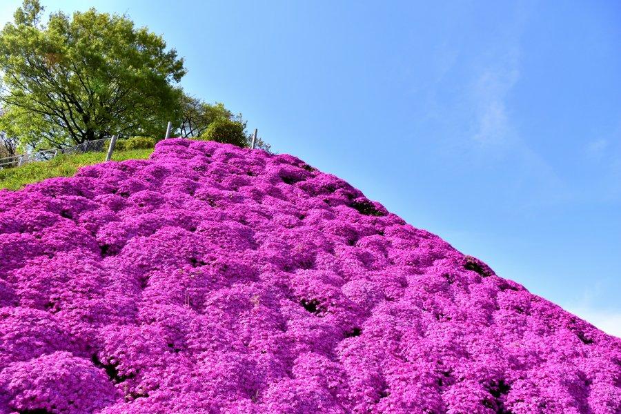 Nishiyama Park's Moss Pink Mountain