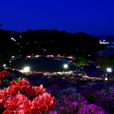 Night-time Azalea Paradise in Fukui