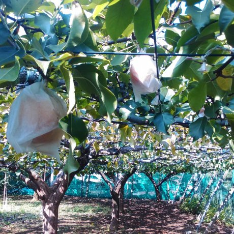 Japanese Pear Picking in Chiba