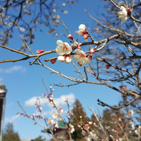 Beginnings of Spring at Naritasan