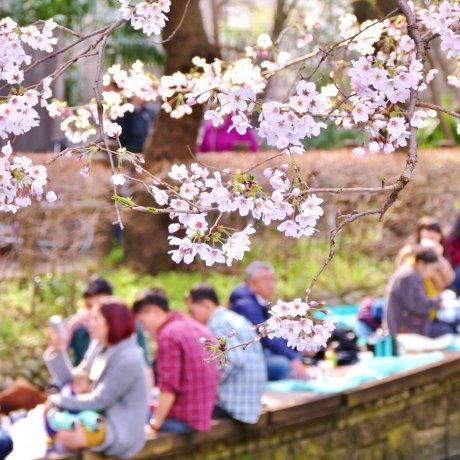 Cherry Blossom Guide: How to Hanami