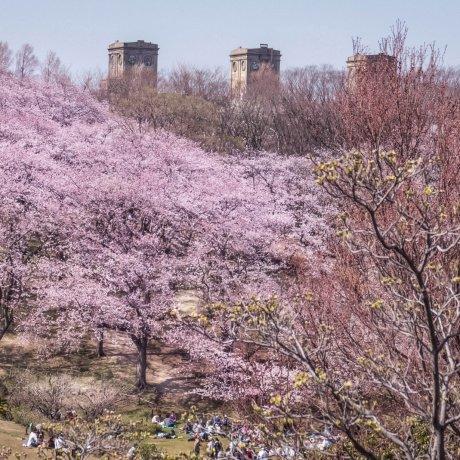 Negishi Park Cherry Blossoms