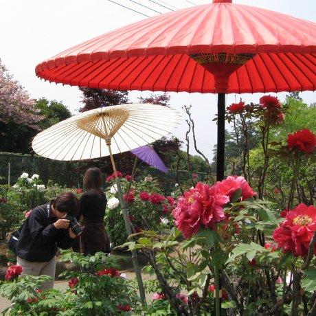 Japanese Peony Garden in Tsukuba