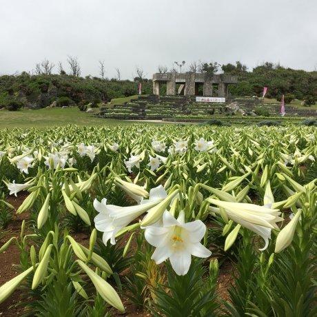Yuri Matsuri - Lily Festival on Ie