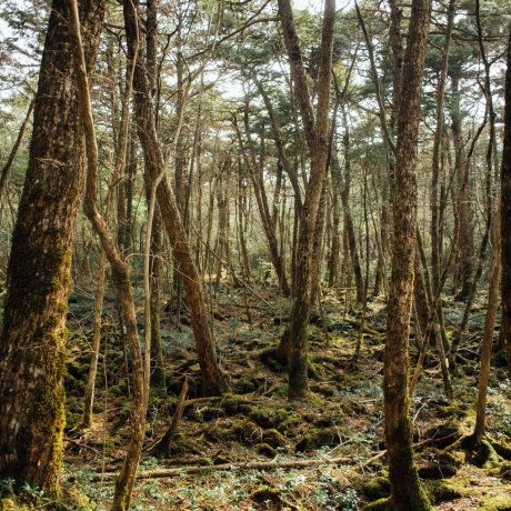 Trip to Aokigahara Forest
