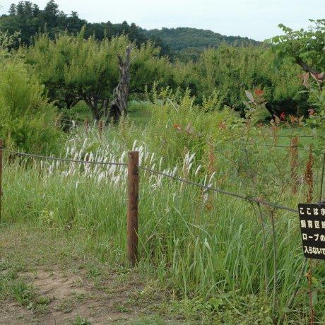 Fireflies in Kinchakuda