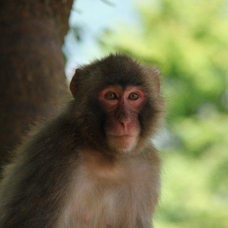 Visiting Arashiyama Monkey Park Iwatayama