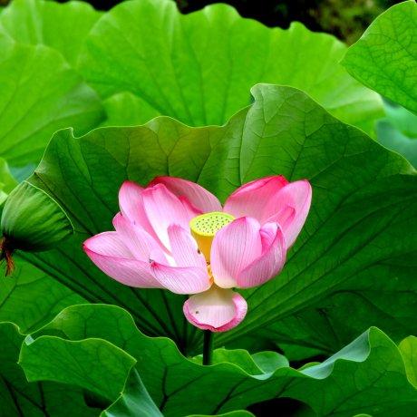 Lotus Blooms at Yakushiike Park