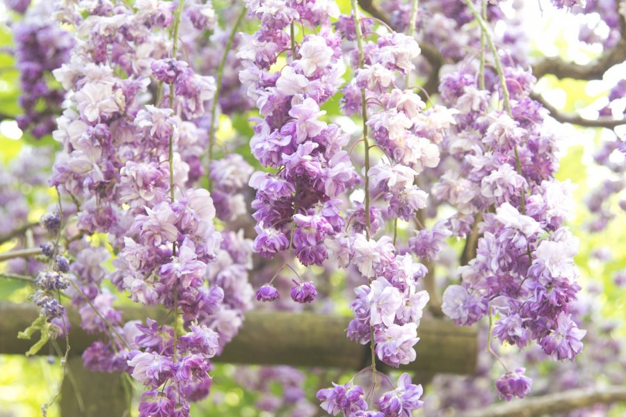 Wisteria Season in Nara