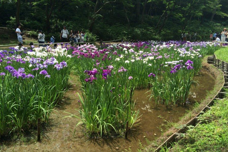 Iris Garden at Meiji Shrine, Tokyo