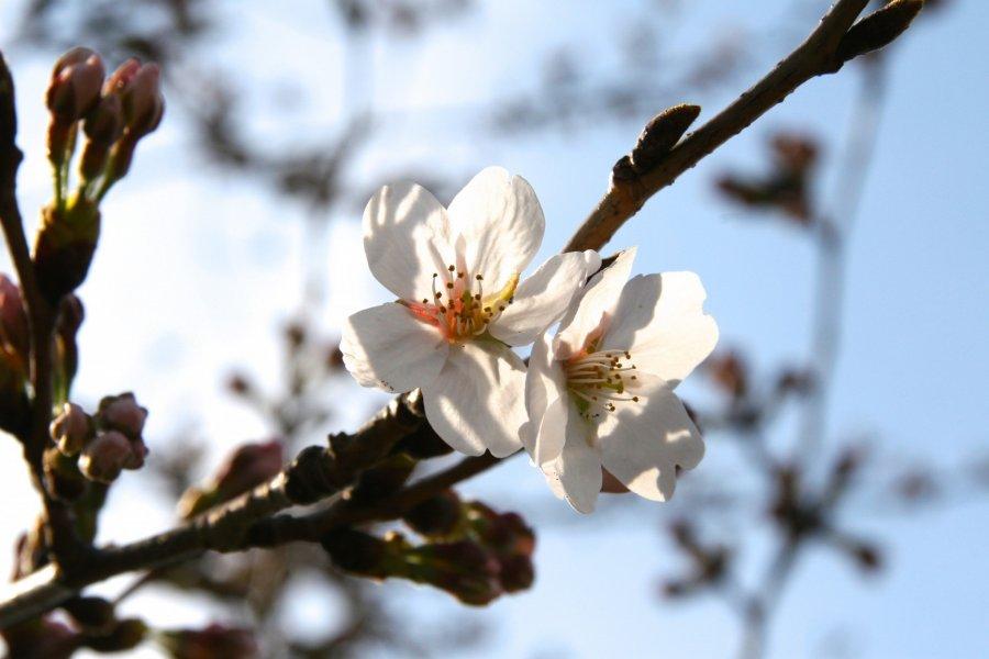 Sakura around Tokyo